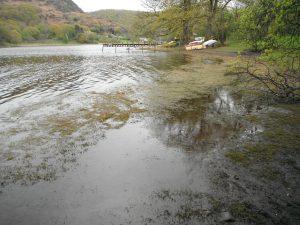 Crassula in Coniston Water